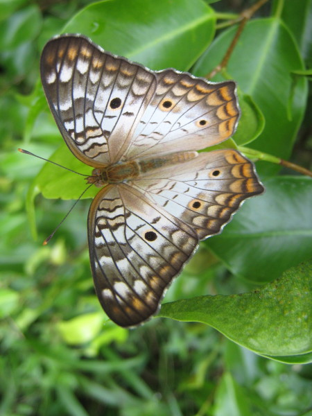 White and tan butterfly