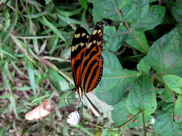 Butterfly - Gandoca Manzanillo Wildlife Refuge