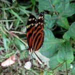 Butterfly Gandoca Manzanillo Wildlife Refuge