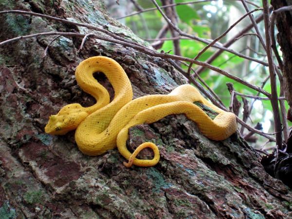 Yellow Eyelash Viper