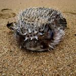 Dead pufferfish that washed up on the beach in Gandoca Manzanillo Wildlife Refuge