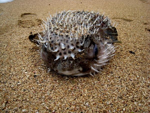 Dead pufferfish