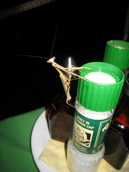 Praying mantis joins us for dinner
