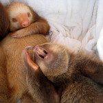 Nap time Aviarios Del Caribe Sloth Center