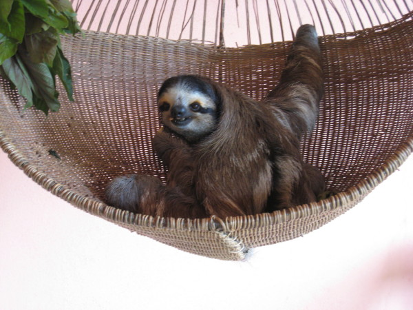 Buttercup was the first sloth rescued at Aviarios Del Caribe Sloth Center