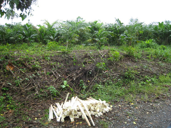 Pejibaye field and freshly harvested hearts of palm