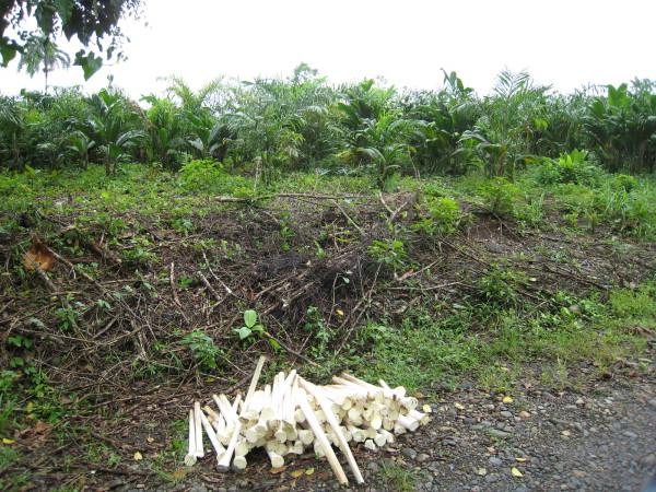 Pejibaye field and freshly harvested hearts of palm