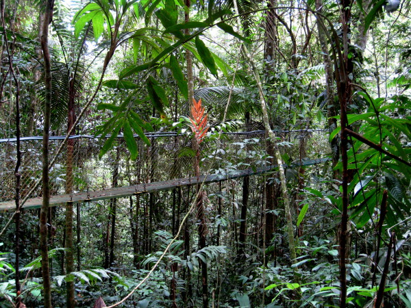 "Sometimes trails in Costa Rica are elevated onto ""puentes colgantes"" or suspension bridges to get you closer to the treetops where most of the action is in the rainforest"