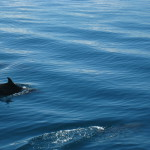 Dolphins in the Gofo Dulce