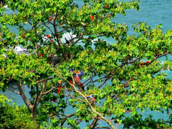 Macaws, playa Hermosa wildlife refuge