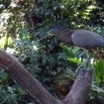 Tiger heron stalking