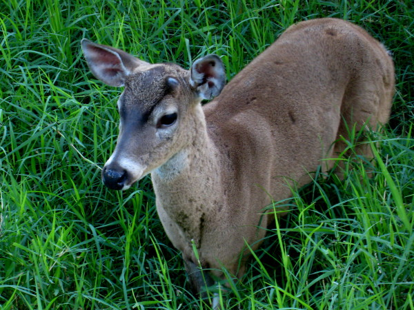 Deer are quite common in Costa Rica though difficult to spot because poaching makes them shy away from people.