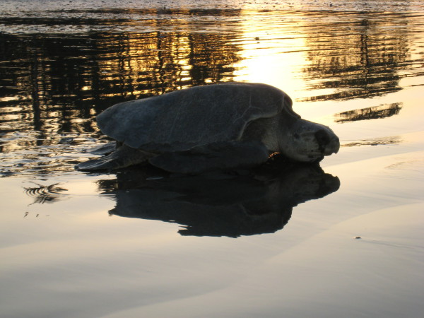 Sunrise reflected on the water, as a turtle returns to the Pacific Playa Ostional
