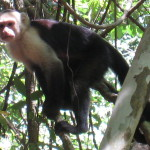 White faced capuchin Cabo Blanco Absolute Nature Reserve