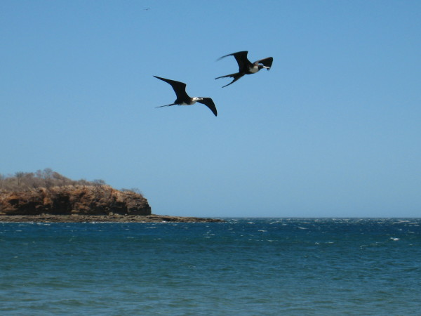 Frigate birds over Bahía Junquillal National Wildlife Refuge