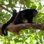 Mono congo and baby
