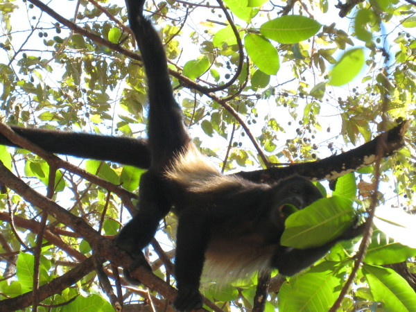 Howler monkey's diet consists mainly of leaves