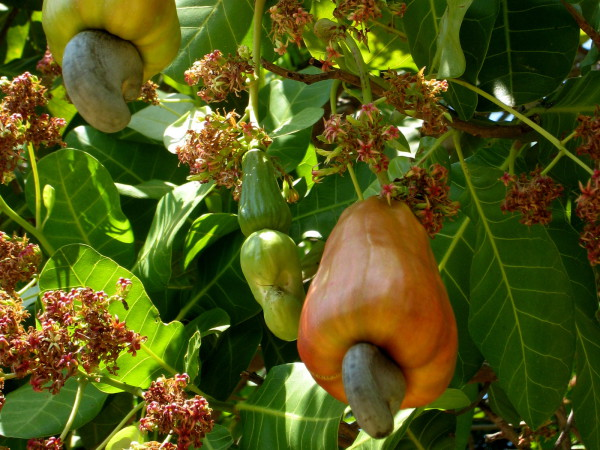 Cashew fruits and flowers