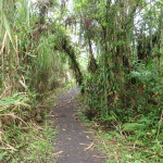 The lower part of the trail is through tall cane that blocks the views of the volcano