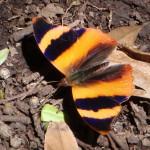 Common Banner butterfly (Epiphile adrasta) near Rincón de la Vieja