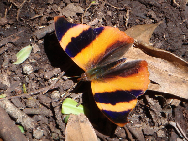 Common Banner butterfly