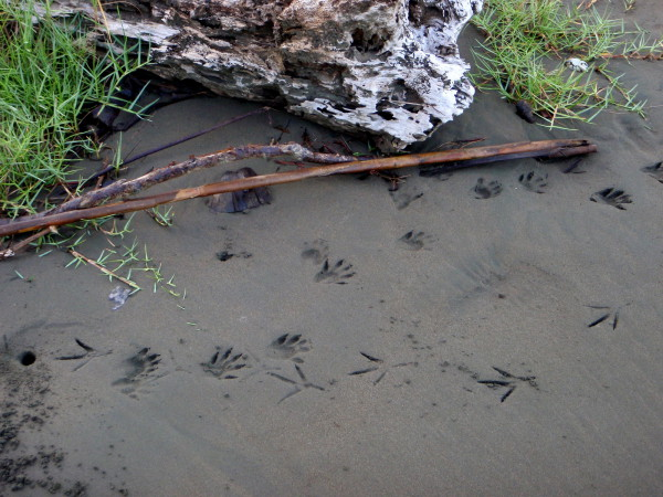 Tracks. Probably a racoon