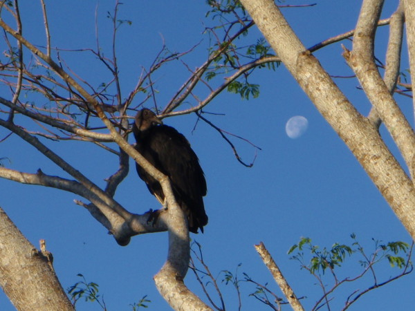 Vulture with the moon