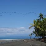 Pelicans over Playa Rio Claro (Pavones) and the Osa Peninsula on the horizon