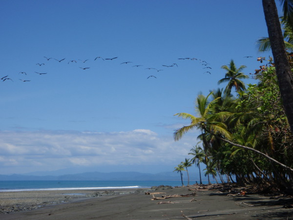 Pelicans over Playa Rio Claro (Pavones) and the Osa Peninsula on the horizon