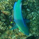Parrot Fish Cano Island