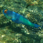 Cleaner Wrasse working on a Parrot fish Cano Island