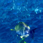 Yellowfin Surgeonfish, Cirujano aleta amarilla (Acanthurus xanthopterus) in a school of Big Eyed Jacks
