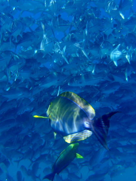 Yellowfin Surgeonfish, Cirujano aleta amarilla (Acanthurus xanthopterus) in a school of Big Eyed Jacks
