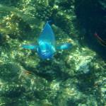 Parrot fish showing his beak Cano Island