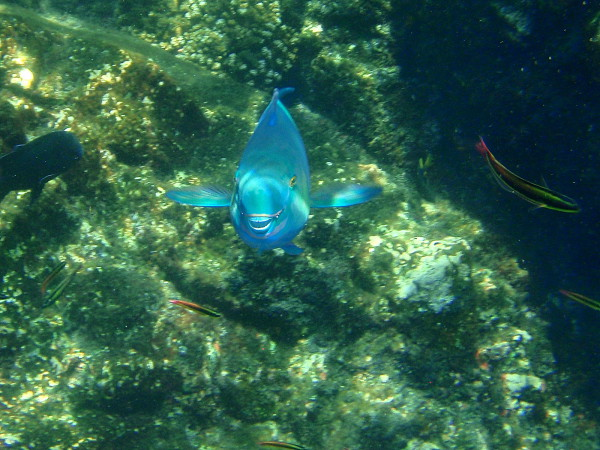 Parrot fish showing his beak Cano Island