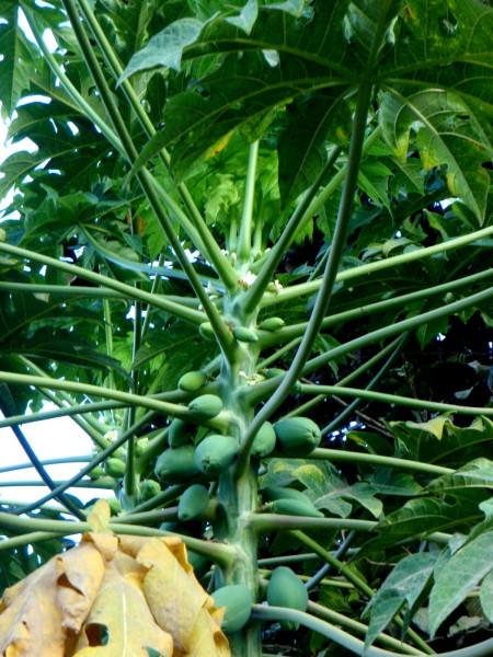 Papaya fruit and flowers on the tree