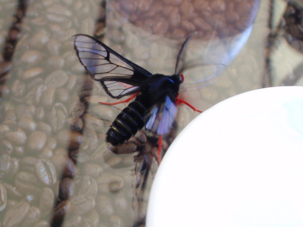 Clearwing moth on the breakfast table at Dantica Lodge