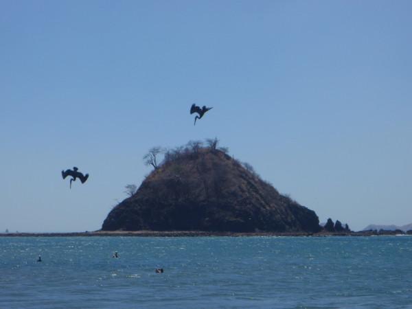 Pelicans Playa Zapotal