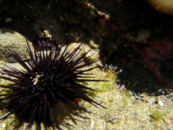 Urchins in a tide pool Playa Zapotal