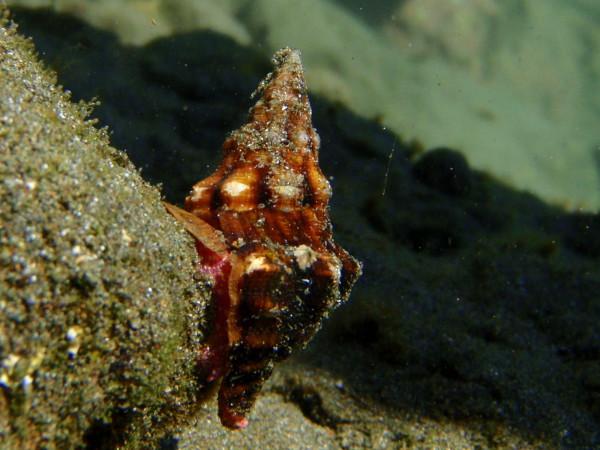 Arthropod in a tide pool Playa Zapotal