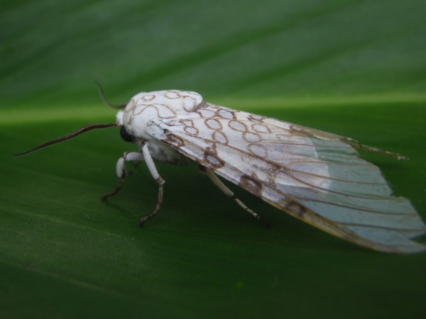 Glass wing moth