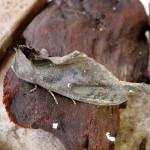 Very bizarre moth on driftwood