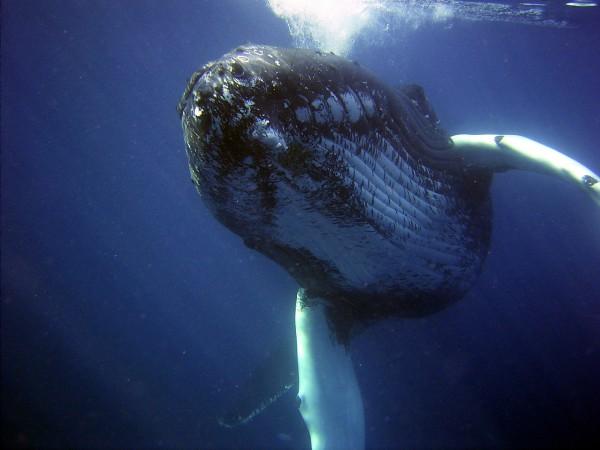 Humpback whale Costa Rica