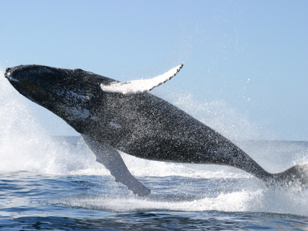 Unbelievable shot of a humpback whale soaring (from the public domain archives of the USFW)