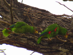Parrots in the tree tops on a zip-line tour