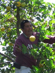 Fruit shade trees on coffee plantation