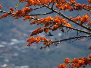 Flowering shade trees on coffee planatation