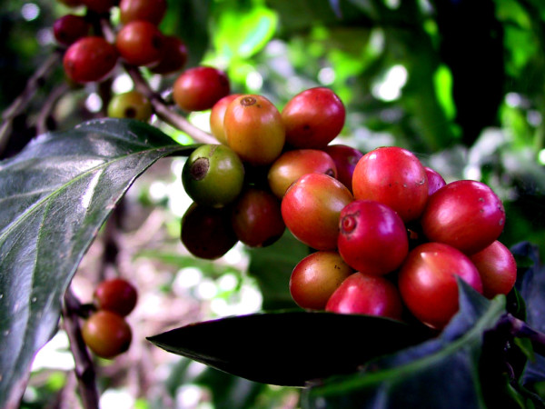 The coffee cherries are getting close to harvest in Tarrazu