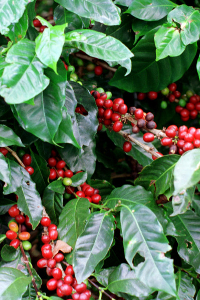 Artisan Coffee Farm Amp Processing Tours In Costa Rica