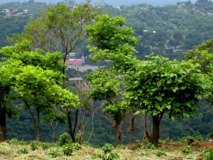 Young coffee plants in the foreground and Jorcó in the background